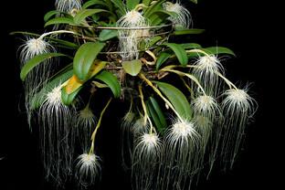 6-Bulbophyllum-medusae2-0784A